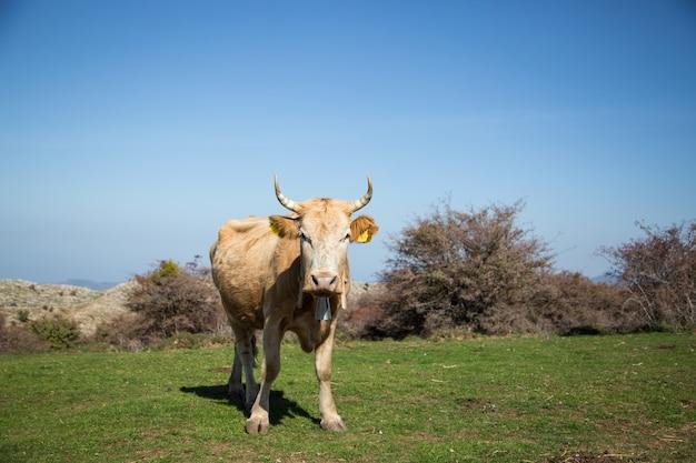 Vaca pastando na grama Foto Premium