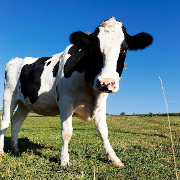 Vaca preta e branca na grama verde com céu azul Foto gratuita