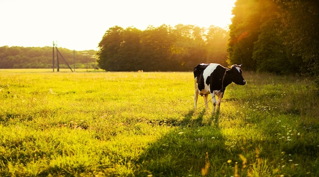 Vaca que pasta no prado Foto gratuita