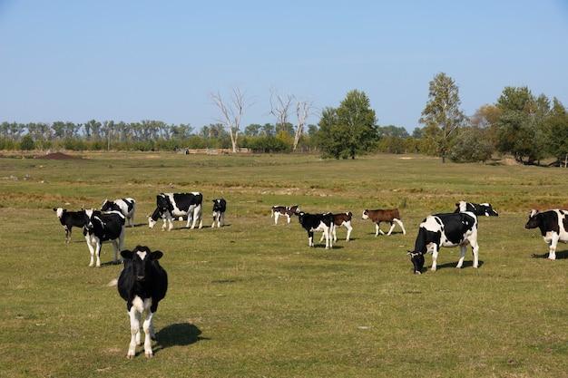 Vacas brancas e pretas em um pasto, prado. Foto Premium