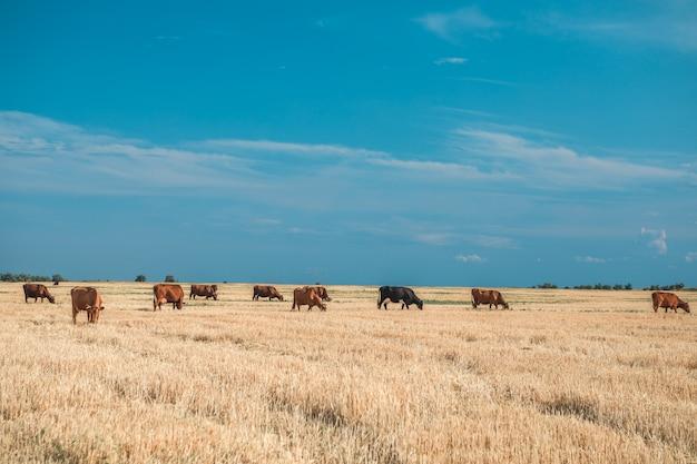Vacas em um campo amarelo e no céu azul. Foto Premium