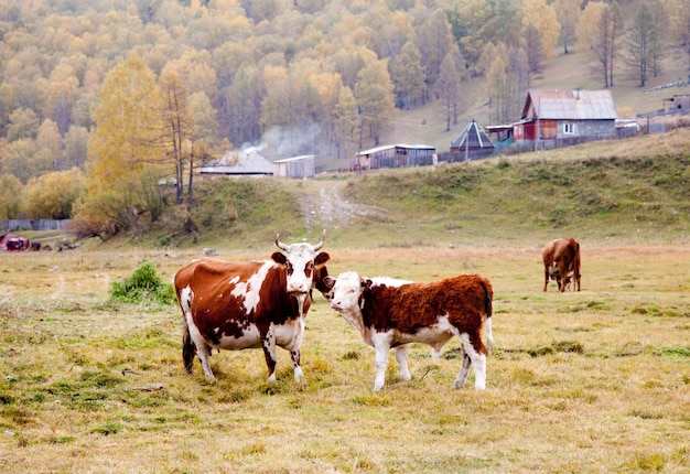 Vacas pastam no outono em altai Foto Premium