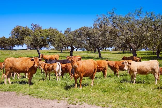 Vacas pastando em extremadura dehesa espanha Foto Premium
