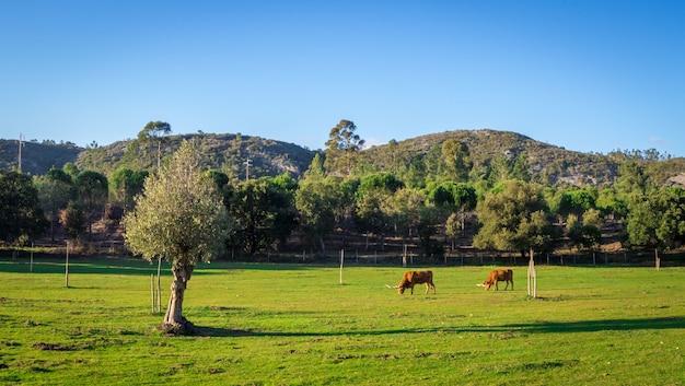 Vacas pastando em um campo gramado cercado por belas árvores verdes durante o dia Foto gratuita
