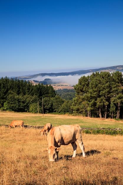 Vacas pastando, espanha Foto Premium