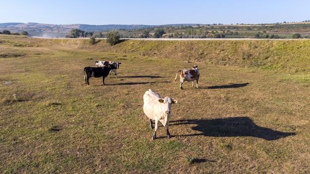 Vacas pastando no campo Foto gratuita