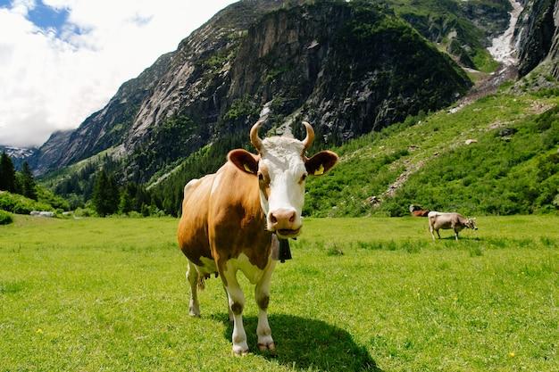 Vacas que pastam em um campo verde. vacas nos prados alpinos. bela paisagem alpina Foto gratuita