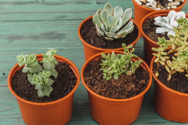 Várias suculentas em pequenos vasos em uma mesa de madeira Foto Premium
