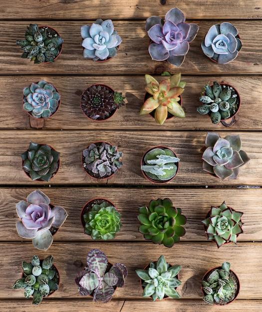 Várias suculentas na placa de madeira como pano de fundo. vista do topo. Foto Premium