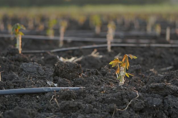 Variedades precoces de mandioca plantadas durante a estação de cultivo. Foto Premium