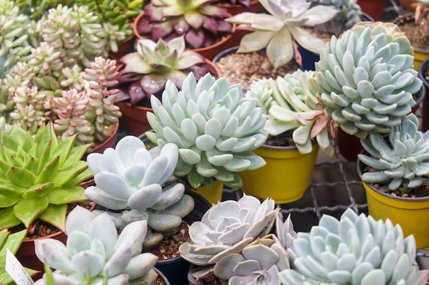 Vários tipos de suculentas em vasos de flores na estufa Foto Premium