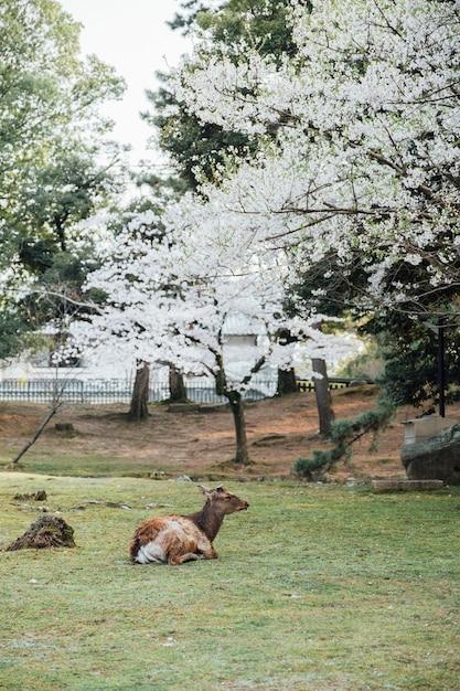 Veados e árvore de sakura em nara japão Foto gratuita