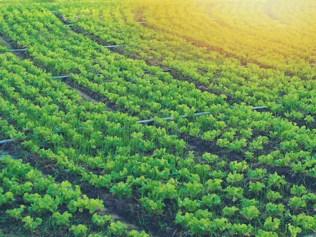 Vegetais crescentes e legumes verdes. é um alimento para os amantes da saúde. Foto Premium