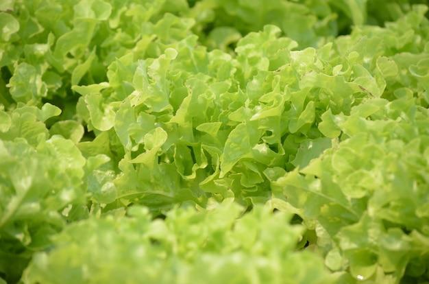 Vegetal de salada para alimentos saudáveis na fazenda Foto Premium