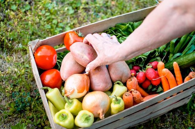Vegetal em caixa de madeira e velhas mãos femininas com colheita fresca. mulher sênior, produzindo alimentos orgânicos em seu jardim. escolhendo a batata da caixa aberta na fazenda do país. Foto Premium