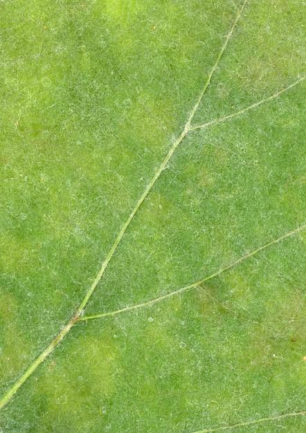 Veia de folha verde Foto gratuita
