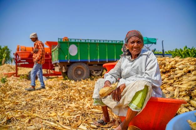 Velha indiana colheita de milho no campo da agricultura Foto Premium