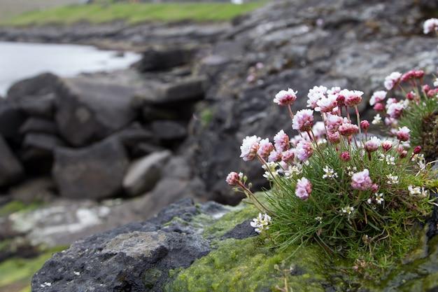 Verbena. bela flor, mar e montanha. ilhas faroe Foto Premium