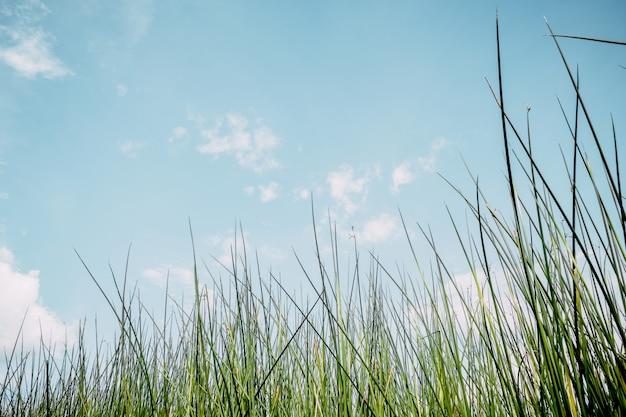 Verde do fundo da natureza do vintage da planta da grama e do fundo do céu. Foto Premium