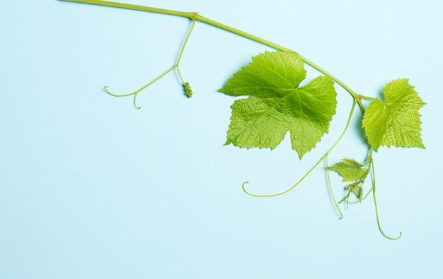 Verde, folhas, de, uvas, ligado, azul Foto Premium