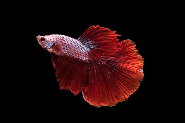 Vermelho, halfmoon, betta, splendens, ou, siamese, luta, peixe, isolado Foto gratuita