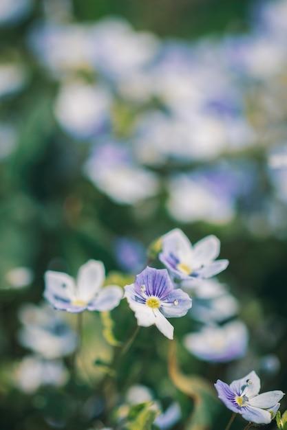Veronica filamentos de flores no jardim Foto Premium