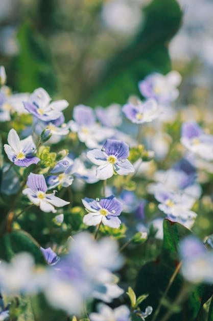 Veronica filiformis flores no prado Foto Premium
