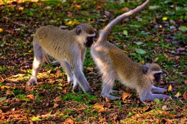Vervet monkey business Foto gratuita