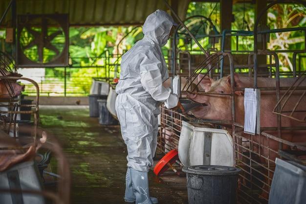 Veterinário asiático trabalhando e alimentando o alimento de porco em fazendas de suínos, animais e suínos indústria de fazenda Foto Premium