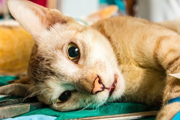 Veterinário cirurgião castrando um gato Foto Premium