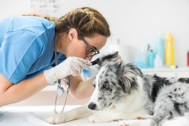 Veterinário inspecionando a orelha do cão com otoscópio Foto gratuita