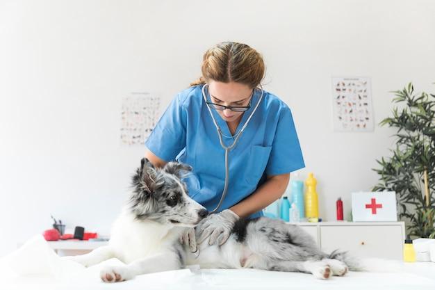 Médica veterinária examinando cachorro com cuidado
