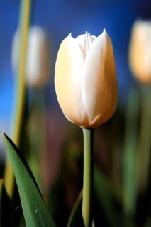 Vibrance tulipa branca Foto gratuita
