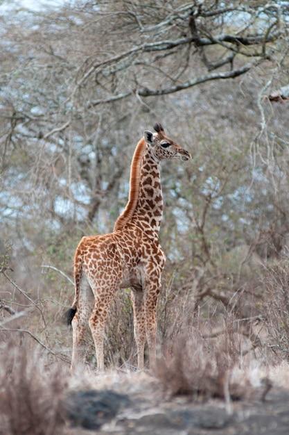 Vida selvagem de girafa no quênia Foto Premium