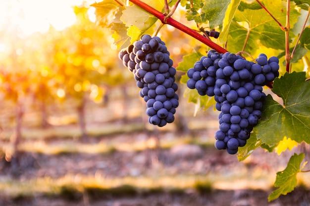 Vinhedo com uvas maduras no campo ao pôr do sol Foto Premium