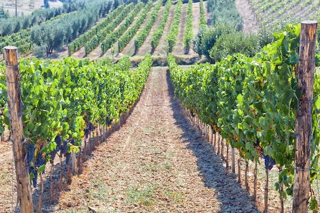 Vinhedo de tuscan com uvas vermelhas. Foto Premium