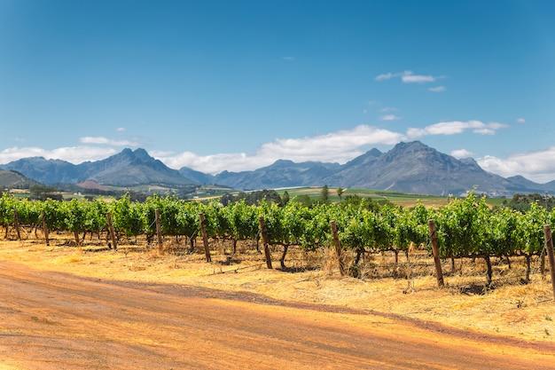Vinhedo e as montanhas na cidade de franschhoek na áfrica do sul Foto Premium