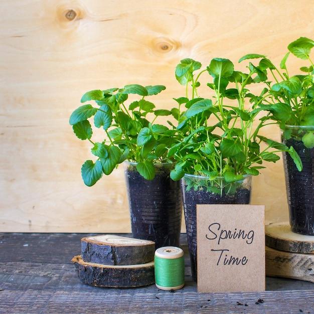 Viola de mudas de primavera Foto Premium
