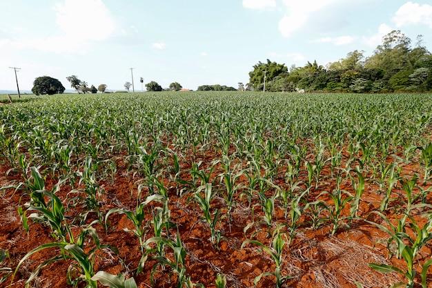 Visão ampla da plantação de milho em crescimento Foto Premium