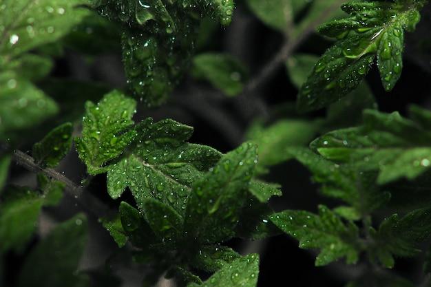 Visão de foco seletivo de orvalho em folhas com fundo escuro Foto gratuita