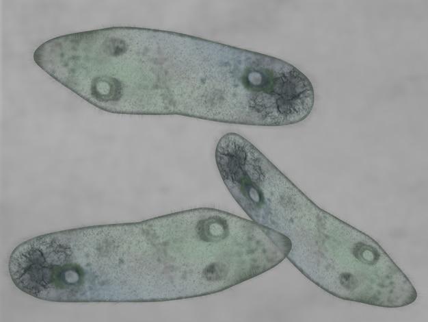 Visão microscópica de um paramecium Foto Premium