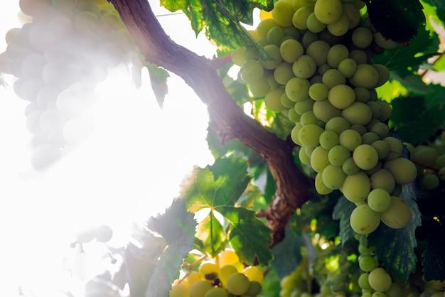 Vista da linha de vinhedos com cachos de uvas de vinho brancas maduras. maravilhosa foto com foco seletivo e espaço para texto. Foto gratuita