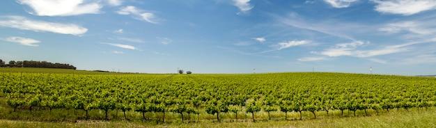 Vista da plantação do vinhedo na região do alentejo, situada em évora, portugal. Foto Premium