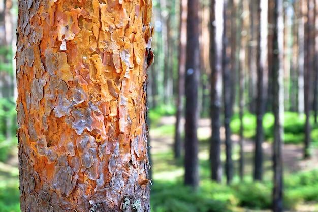 Vista de árvores velhas altas no céu azul da floresta primitiva sempre-verde no fundo. Foto Premium