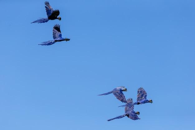 Vista de baixo ângulo de araras-azuis voando no céu azul durante o dia Foto gratuita