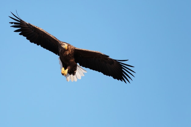 Vista de baixo ângulo de uma águia-de-cauda-branca voando sob a luz do sol e um céu azul em hokkaido, no japão Foto gratuita