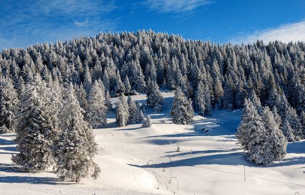 Vista, de, neve-coberta, abetos, em, inverno Foto Premium