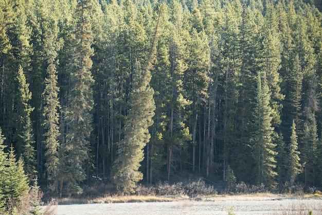 Vista de pinheiros Foto gratuita