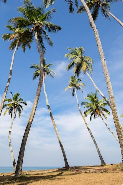 Vista do bosque da palmeira do coco no beira-mar. Foto Premium