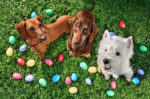 Vista do topo da festa de cães de páscoa no gramado Foto Premium